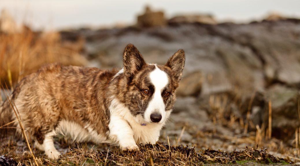 Welsh_Corgi_Cardigan,_Dog